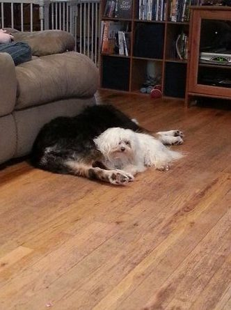 Two dogs laying together on a wood floor