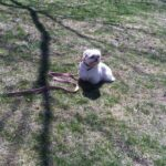 Dog sitting on grass while wearing a leash