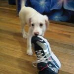 Dog nibbling on a sneaker